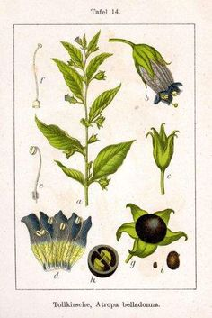 Deadly nightshade, or Atropa belladonna Deadly Plants, Poisonous Plants, Plant Illustration, Botanical Illustration, Belladonna Of Sadness, Flower Structure, Halloween Science, Traditional Witchcraft, Flower Names