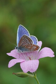 Common Blue butterfly - Amsterdam