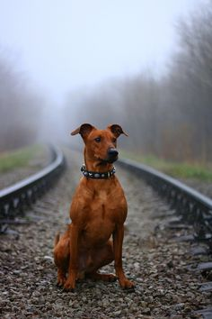 german pinscher.