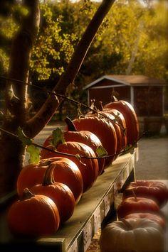 Pumpkins in a row...