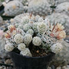 Mammillaria Gracilis Fragilis (This plant comes in a 2 pot. You will receive a very similar plant to the one on the picture. It may or may not be bloom Cacti And Succulents, Planting Succulents, Cactus Plants, Small Cactus, Cactus Flower, Green Bodies, Terrarium Plants, Cactus Y Suculentas, Live Plants