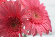 love pink gerber daisies! A surprise from my hubby! :) White snowy background. #pink #daisy