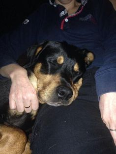 URGENT FOSTER HOME NEEDED FOR 2YR OLD ROTTIE - no issues with food/toys, no issues in the house, afraid of all dogs