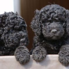 Barbet (French Water Dog) #Dog #Puppy #Puppies