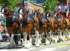 clysdale horses | MaryinMaine › Portfolio › Clydesdale Horses - Eight Horse Hitch
