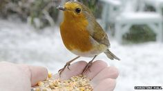 Robin feeding from hand in snow