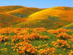 Beautiful photos and wallpapers - California Poppies and Rolling Hills, Antelope Valley, California California Wildflowers, California Poppy, Valley California, Spring Wildflowers, California Mountains, Antelope Valley Poppy Reserve, Field Wallpaper, Hd Wallpaper, Desktop Backgrounds