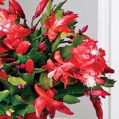 Always enormously popular, this cactus provides red and white blooms that look as sweet as candy! Christmas Cactus, Avocado Egg, Candy Cane, Red And White, Bloom, Plants, Barley Sugar, Candy Canes, Plant