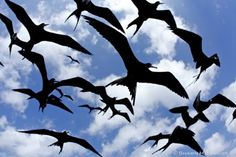 GREAT frigate birds.