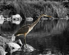 Clearance Sale Photograph of Blue Heron by HenaTayebPhotography, $12.50