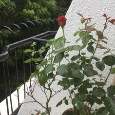 First rose this year at my veranda.