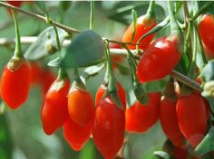 Health Benefits OF Wolfberry . Wolfberry (additionally Alluded To As Goji Berry) Is Truly A Woodsy E Boys Toys For Christmas, Dried Goji Berries, Mulberry Fruit, Best Toddler Toys, Healthy Fruits And Vegetables, Strange Fruit, Chinese Herbs, Patio Plants, Herb Seeds