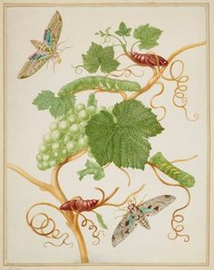 Maria Sibylla Merian Grape vine with vine sphinx moth and satellite sphinx moth Vintage Botanical Prints, Botanical Drawings, Botanical Art, South American Rainforest, The Queen's Gallery, Monochromatic Paintings, Sibylla Merian, Drawing Course, Flora And Fauna