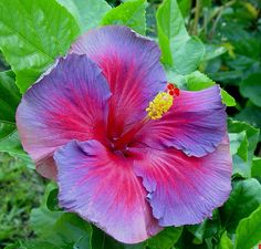 "Hibiscus ""Nightfire"""
