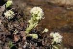 Devětsil bílý je vytrvalá silně páchnoucí rostlina dosahující výšky v době kvetení 15 až 35 cm a později až 80 cm.