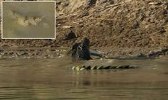 It's a CANNIBAL crocodile! Disturbing video shows an enormous saltwater croc devour one of its own... before the dead reptile emerges from the water without a head   Read more: http://www.dailymail.co.uk/news/article-3273697/Fisherman-capture-cannibal-crocodile-feasting-smaller-snapper.html#ixzz3oioxdup5  Follow us: @MailOnline on Twitter   DailyMail on Facebook