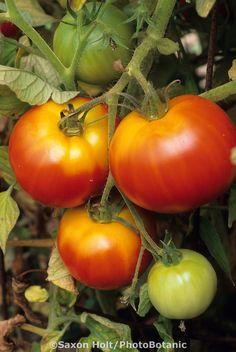 'Early Girl' tomato growing in organic vegetable garden