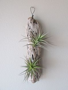 you need a new pretty home for your beloved air plants make sure you check out this Etsy shop at TILLYLOVECOM they carry unique and handmade planters mostly from natural. Driftwood Planters, Driftwood Projects, Recycled Planters, Driftwood Ideas, Air Plants Care, Dry Plants, Fake Plants, Potted Plants, Hanging Air Plants
