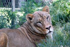 Reina Lion Animals And Pets, Cute Animals, Wild Animals, Big Cat Family, Photo Animaliere, Cheetahs, Big Cats, Lions, Wildlife