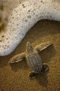 Tartaruga linda, bem vinda, molha a vida...