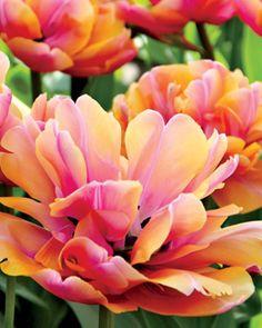 "Tulip, ""Pink Star"""