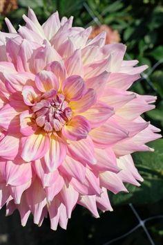 Die Dahlie 'Strawberry Ice' erinnert mit ihrer Blüte in Pastellrosa und einem Hauch von Weiß und Gelb tatsächlich an ein fruchtiges Milcheis - perfekt für heiße Sommertage im Garten. Plants, Pink, Daffodils, Summer Days, Dahlias, Tulips, Yellow, Lawn And Garden, Hot Pink