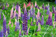 Many colors of lupines, a field on an old farm in Woodland, Aroostook County, Maine.