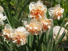 Name: Delnashaugh - Double Daffodil Botanical Name: Narcissus Type: Fall Planted Bulb Bulb Size: cm Color: white & Salmon Mature Height: 14 to 18 inches Sun / Shade: Sun or Shade Bloom Time: March - May Hardiness Zones: 3 - 9 Daffodil Bulbs, Daffodils, Tulips, White Salmon, Summer Fun For Kids, Fall Plants, Planting Bulbs, Sun Shade, Perennials
