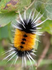 spotted tussock moth caterpillar  I got a picture of one of these while in Montana over the summer! Super cool.