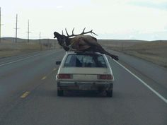 Elk taking a ride home on a Pinto.  http://buelahman.files.wordpress.com/2010/03/redneck_elk_hunter.jpg
