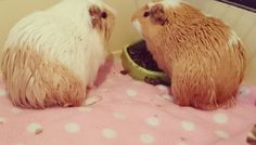 Guineapig guide : Dealing with a smelly guineapig!