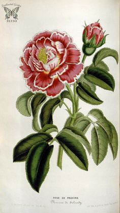 Rose de Provins Panachée. Houtte, L. van, Flore des serres et des jardin de l'Europe, vol. 6 (1851)