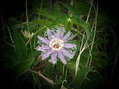 oklahoma wildflower landscape | Oklahoma wildflower