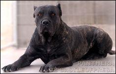 Presa Canario.. Such a Beautiful breed.
