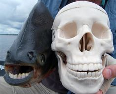 """40 Bizarre Creatures That Actually Exist On Earth.The Pacu Fish, native to South America, is nicknamed the """"ball cutter"""" by local male fishermen, who fear swimming in the water because of the animals human-like smile. Bizarre Animals, Ugly Animals, Unusual Animals, Interesting Animals, Interesting Facts, Pacu Fish, Glaucus Atlanticus, Especie Animal, Human Teeth"""