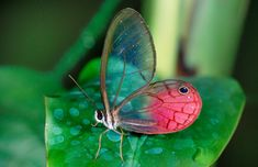 Creatures with clear glass-like skin can be found all over the world but their very existence is still shrouded in mystery. The fascinating organisms verge on the invisible and their translucent skin often helps them elude predators. Seen here is a Glasswing butterfly.