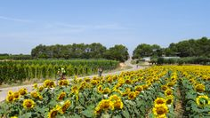Cycling with sunflowers #spain #costabrava #bikespaintours #travel #cyclingtourism