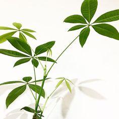 Update dikit tentang #pachiraaquatica kemarin yang daunnya menguning. Setelah diganti tanah dan pot yang lebih besar dalam dua minggu terakhir sudah tumbuh 3-5 daun baru  . . Ternyata dia ngambek karena potnya kekecilan. . . #keepcalmandknowyourplant