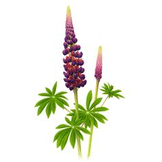 Lupinus masterpiece - Irene Laschi's illustration for Chelsea Flower Show 2013