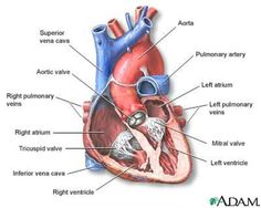 Diagram showing the four chambers of your heart heart anatomy transcatheter aortic valve replacement tavr procedure sciox Images
