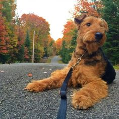 Stunning Airedale