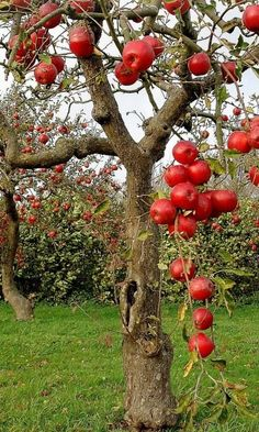 New red apple tree orchards Ideas Fruit Plants, Fruit Garden, Fruit Trees, Flowers Garden, Vegetable Garden, Beautiful Fruits, Beautiful Gardens, Apple Tree, Red Apple