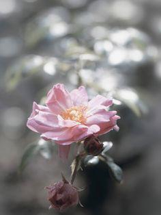 Uta Naumann bei Artgalerie-bildershop: Rosen im Gegenlicht - Glasbild 80 x 60 cm Glasbilder