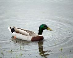 Mr. Mallard the Duck