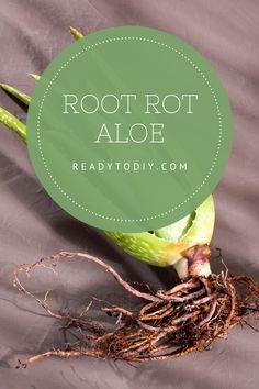 Root Rot Aloe Planting Vegetables, Vegetable Gardening, Growing Vegetables, Gardening Tips, Propagating Succulents, Growing Succulents, Aloe Plant Care, Types Of Fungi, Growing Plants Indoors