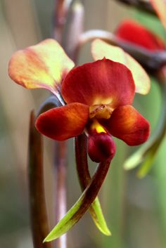 Another Color-form of the Common Donkey-Orchid [Diuris] - Rare Orchids, Rare Flowers, Exotic Flowers, Beautiful Flowers, Purple Flowers, My Flower, Flower Power, Cactus Flower, Orchid Varieties