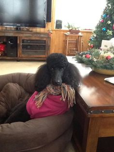 Standard poodle at Christmas