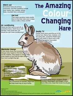 Snowshoe #hares change colour in the spring and fall, but did you know how that works? A hare-y wardrobe change and more, all in today's #infographic from SOLARO!