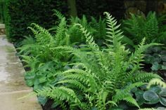 Japanese beech ferns - need to find VA native ferns!