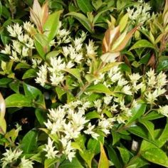 Backhousia 'Grey Myrtle' Lovely native rainforest tree with cream flowers and cinnamon scented leaves.